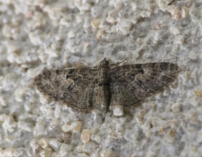 GEOMETRIDAE Eupithecia massiliata 1 (eupithécie marseillaise).JPG