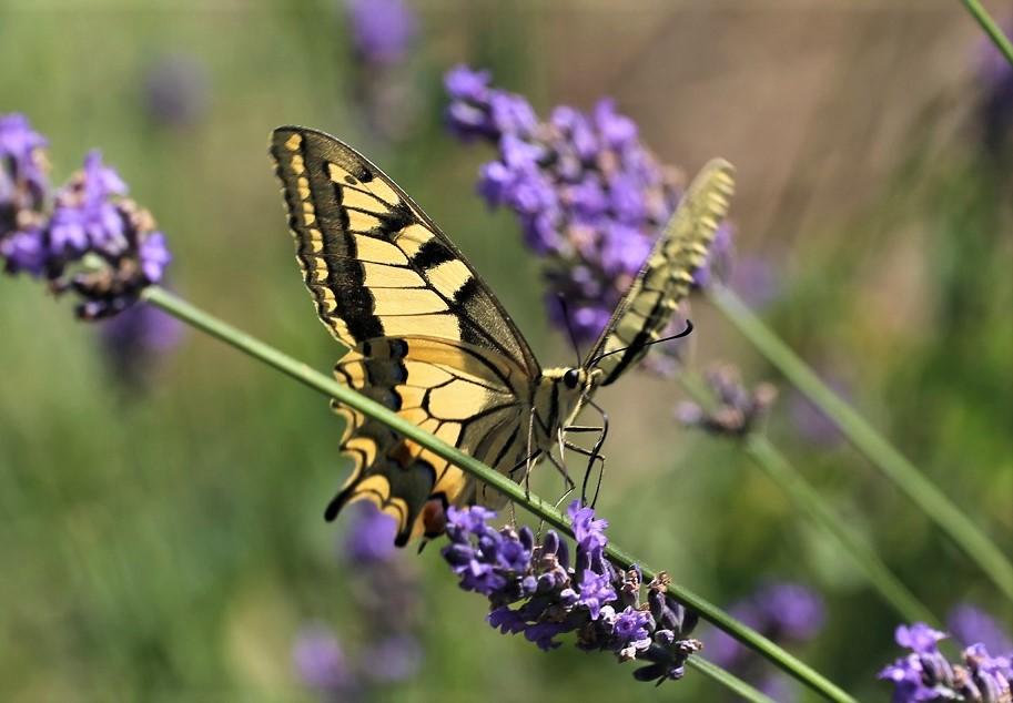 PAPILIONIDAE Papilio machaon 6.JPG