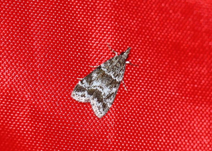 CRAMBIDAE Eudonia mercurella 1 (eudorée de l'alisier).JPG