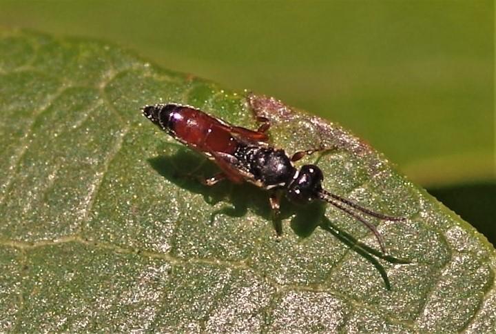 ICHNEUMONIDAE Dicaelotus sp..JPG