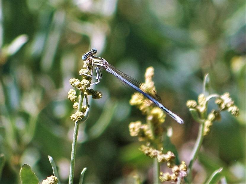 PLATYCNEMIDAE Platycnemis latipes 4 (agrion blanchâtre mâle).JPG