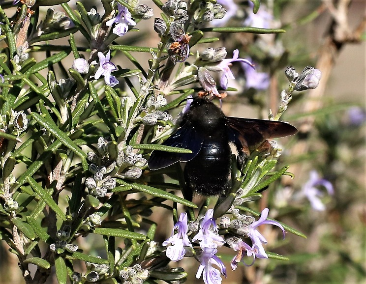 APIDAE Xylocopa violacea 5 (abeille charpentière).JPG