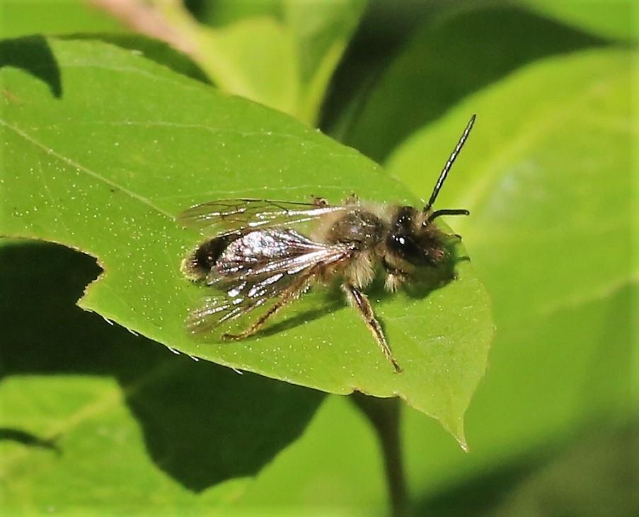 ANDRENIDAE Andrena chrysosceles 2.JPG