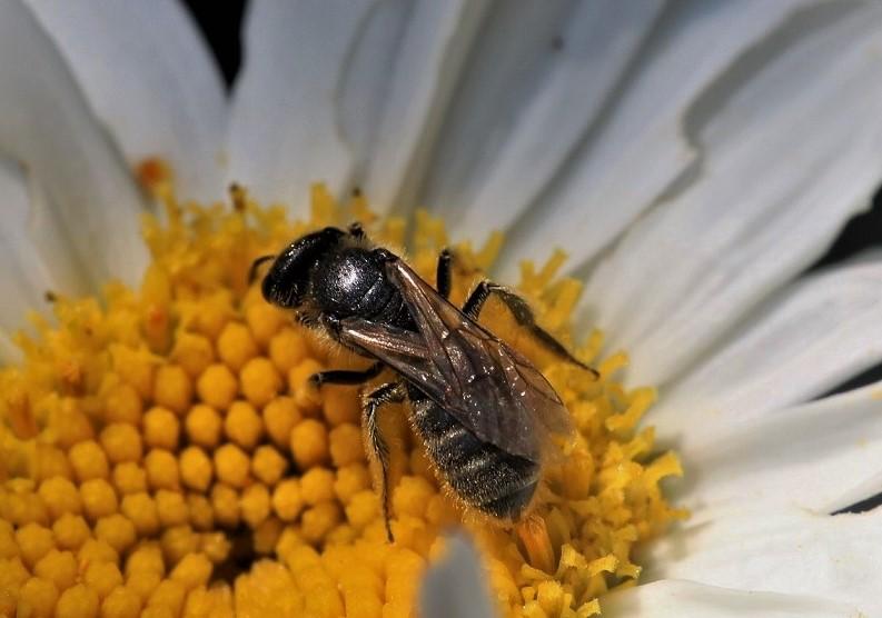ANDRENIDAE Panurgus sp. 3.JPG