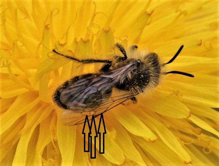 ANDRENIDAE Andrena bicolorata 2 (2).JPG