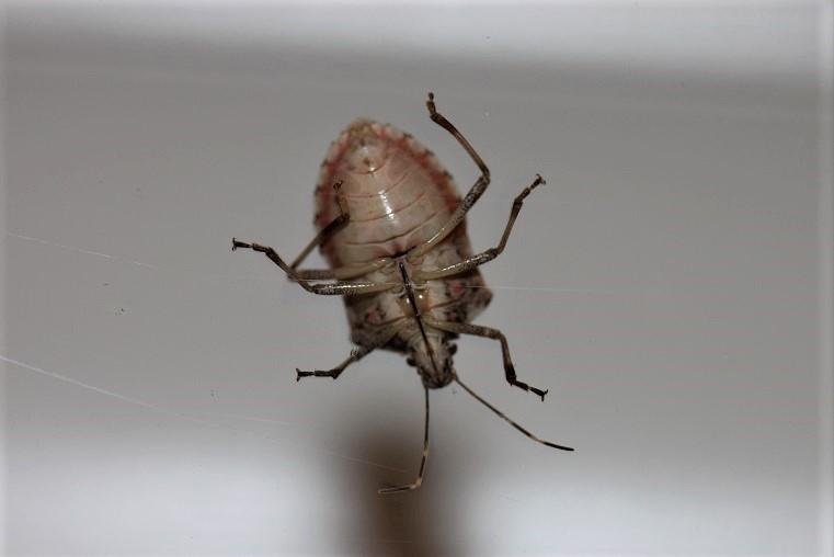 PENTATOMIDAE Halyomorpha halys 2.JPG
