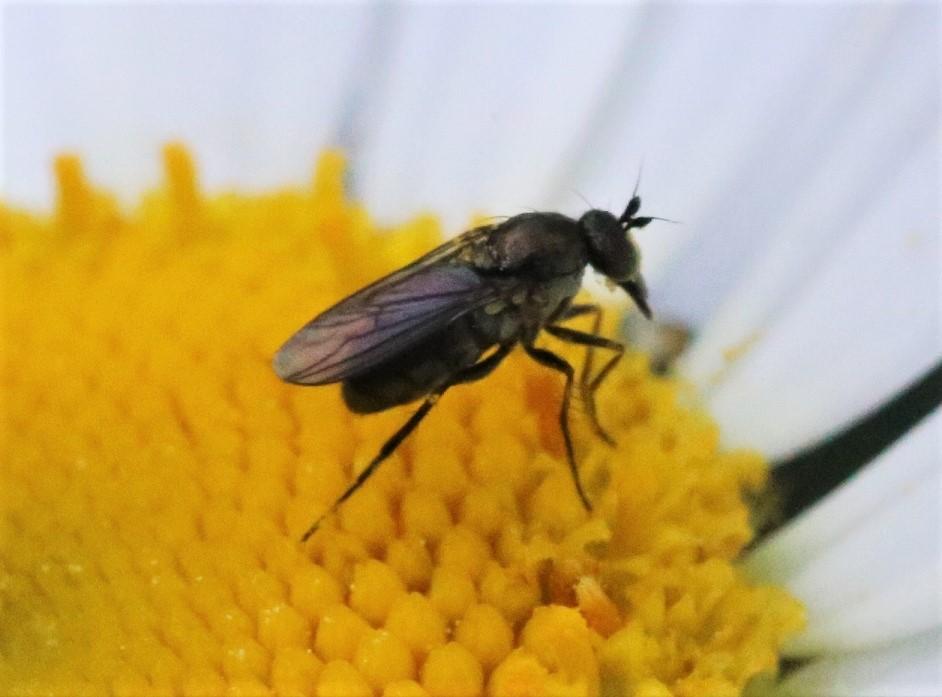 DOLICHOPODIDAE Dolichopus nigricornis 2.JPG