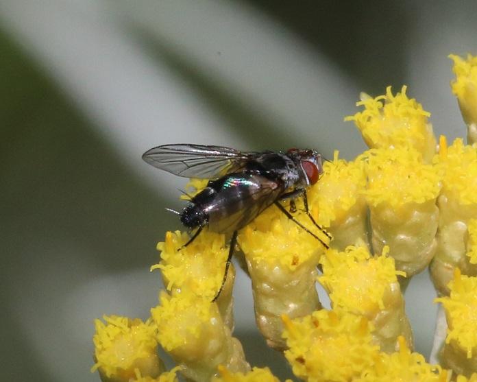 TACHINIDAE Phyllomya volvulus 1.JPG