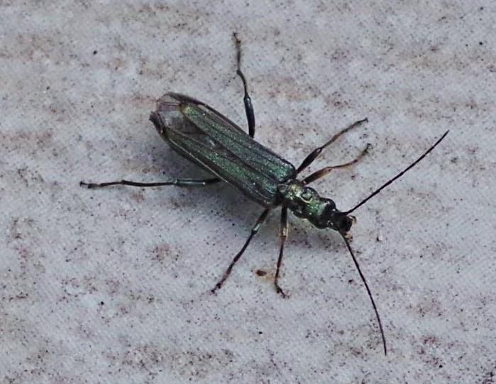 OEDEMERIDAE Oedemera virescens (oedemère verte).JPG