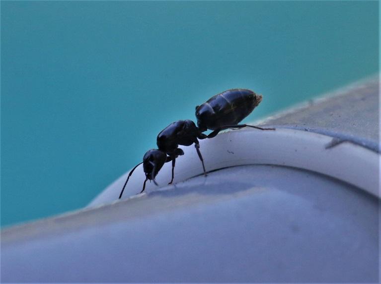 FORMICIDAE Camponotus vagus 1.JPG