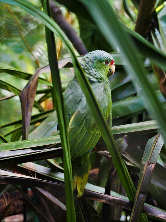 OISEAUX 16 (Amazonas automnalis-Amazone à lores rouges).JPG