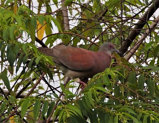 OISEAUX 22 (Patagioenas cayennensis-Pigeon rousset).JPG