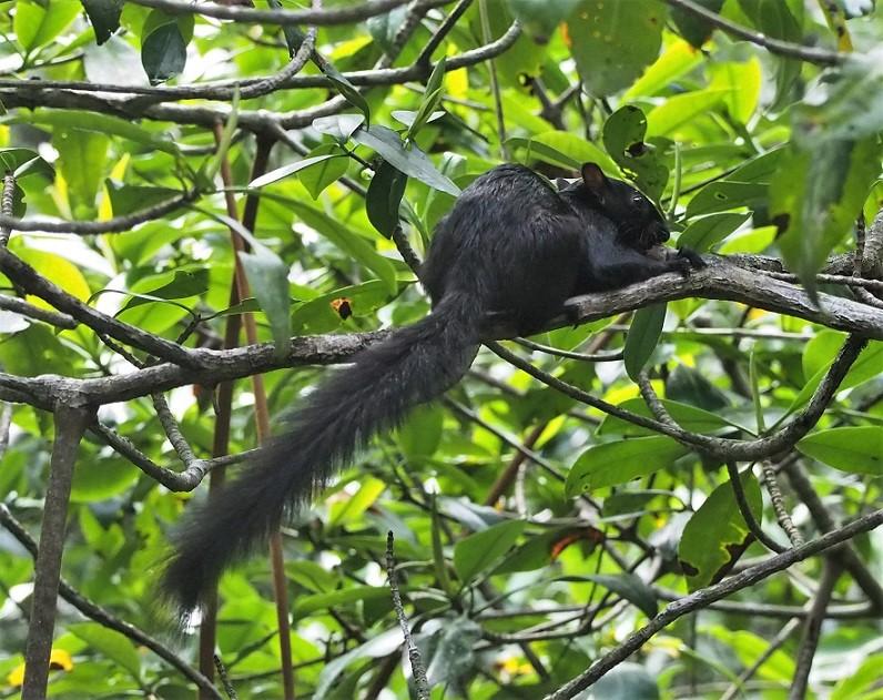 MAMMIFERES 7 Sciurus deppei (écureuil de Deppe).JPG