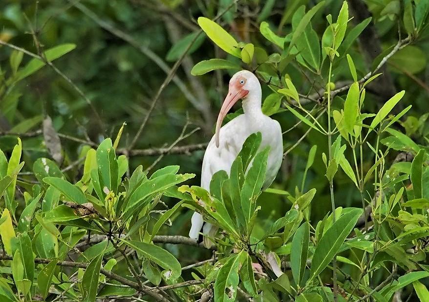 OISEAUX 27 (Eudocimus albus-Ibis blanc).JPG