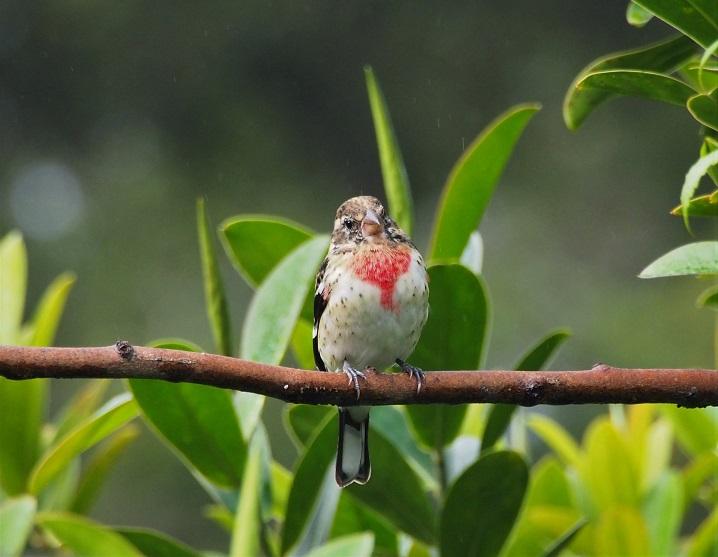 OISEAUX 18 (Pheucticus ludovicianus-Cardinal à poitrine rose).JPG