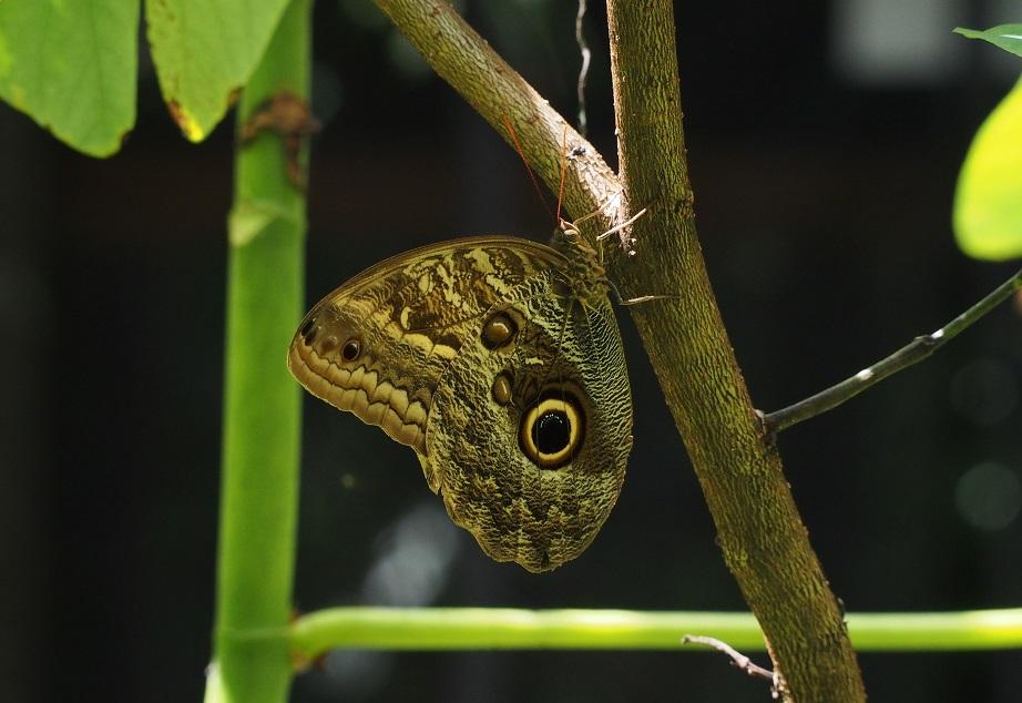 PAPILLONS 1 Caligo eurilochus (hibou).JPG