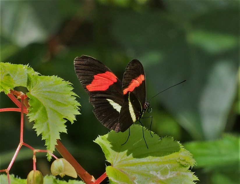 PAPILLONS 7 Heliconius clysonymus.JPG