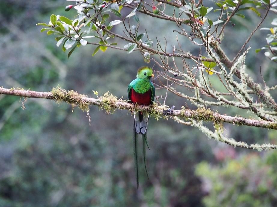 OISEAUX 36 (Pharomachrus mocinno-Quetzal resplendissant).JPG