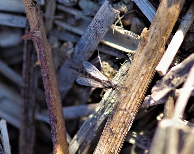 CHIRONOMIDAE Chironomus plumosus 1.JPG
