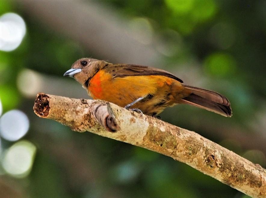 OISEAUX 37BIS (Rhamphocelus passerinii).JPG