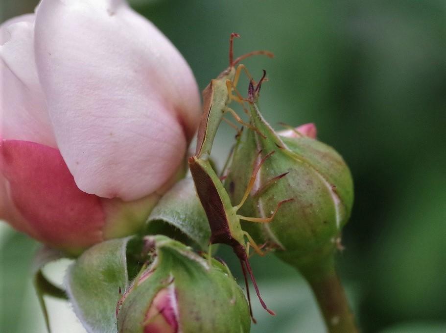 PENTATOMIDAE Picromerus bidens (punaise épineuse).JPG