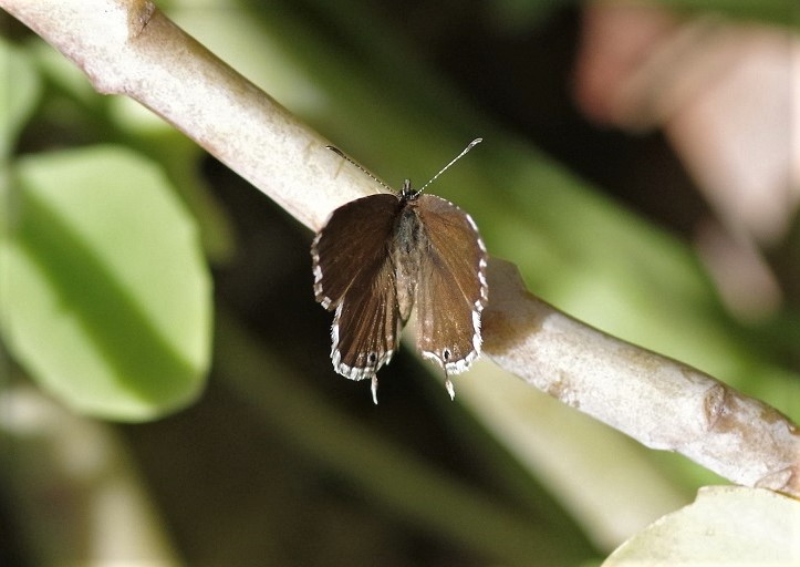 LYCAENIDAE Cacyreus marshalli 6 (brun des pelargoniums).JPG
