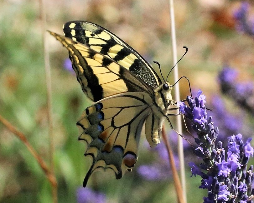 PAPILIONIDAE Papilio machaon 7.JPG