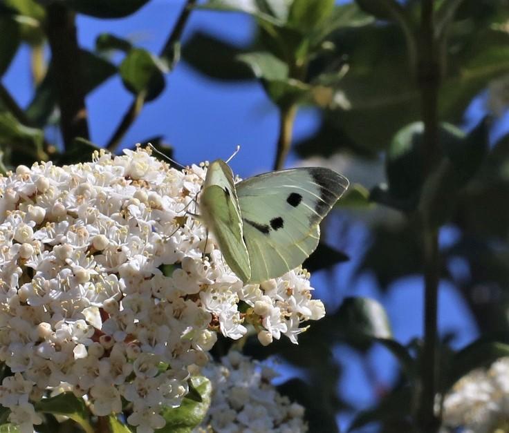 PIERIDAE Pieris brassicae 4.JPG