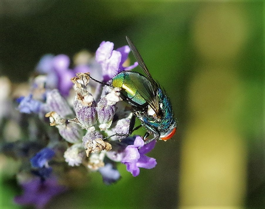 CALLIPHORIDAE Lucilia sericata 1 (mouche cuivrée).JPG