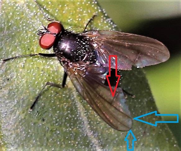 MUSCIDAE Hebecnema nigra 1 (2).JPG