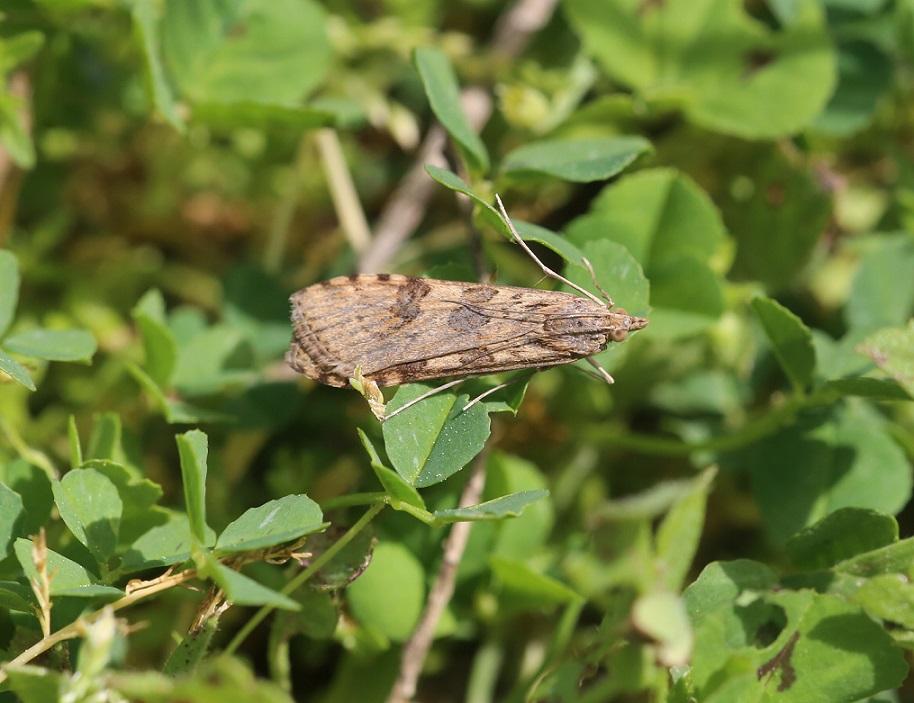 CRAMBIDAE Nomophila noctuella 3.JPG