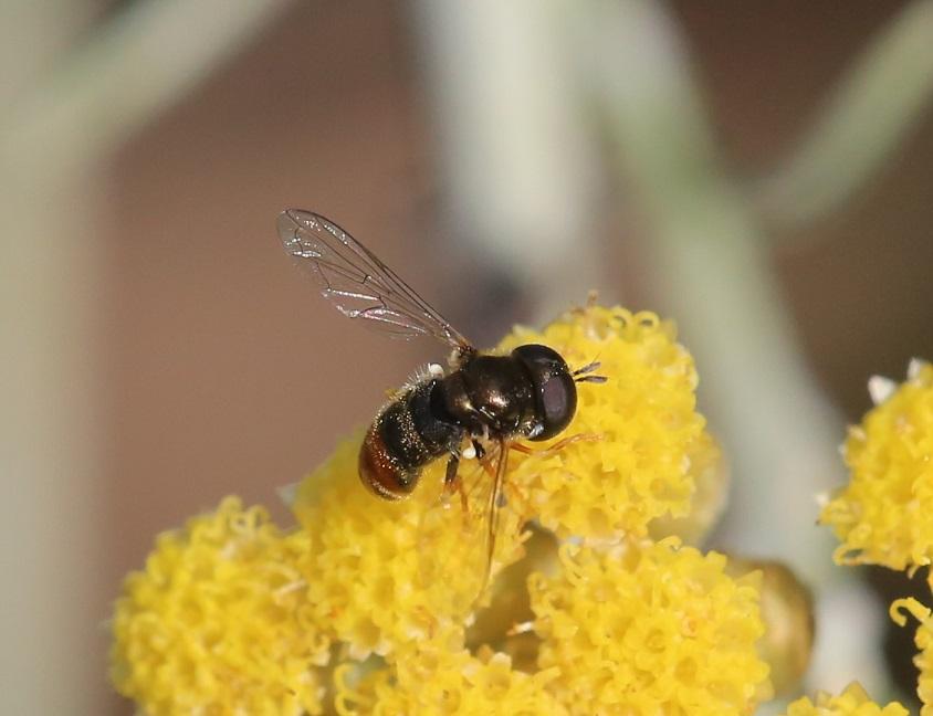 SYRPHIDAE Paragus bicolor 4.JPG