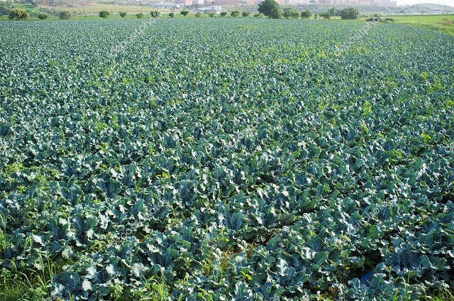 depositphotos_157761940-stockafbeelding-teelt-van-broccoli-op-zomer.jpg