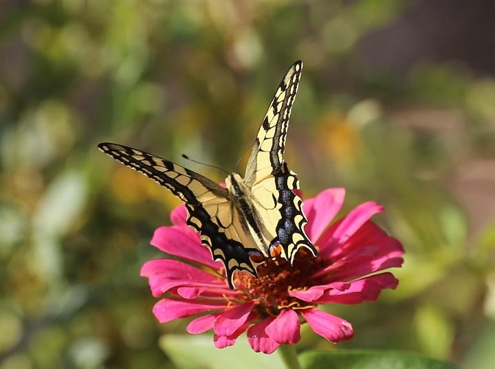 PAPILIONIDAE Papilio machaon 2.JPG