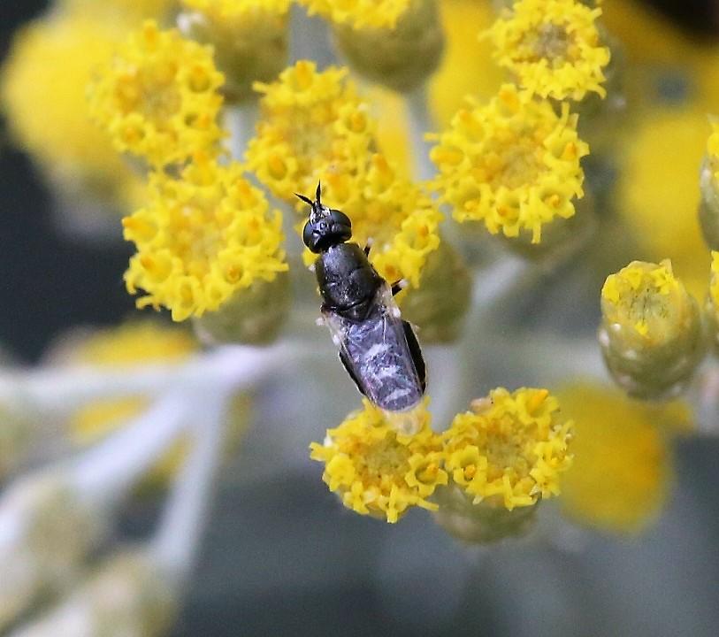 STRATIOMYIDAE Nemotelus pantherinus 1.JPG