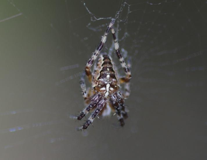 ARANEIDAE Araneus diadematus 1 (épeire diadème).JPG