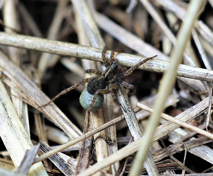 LYCOSIDAE Pardosa amentata 5.JPG