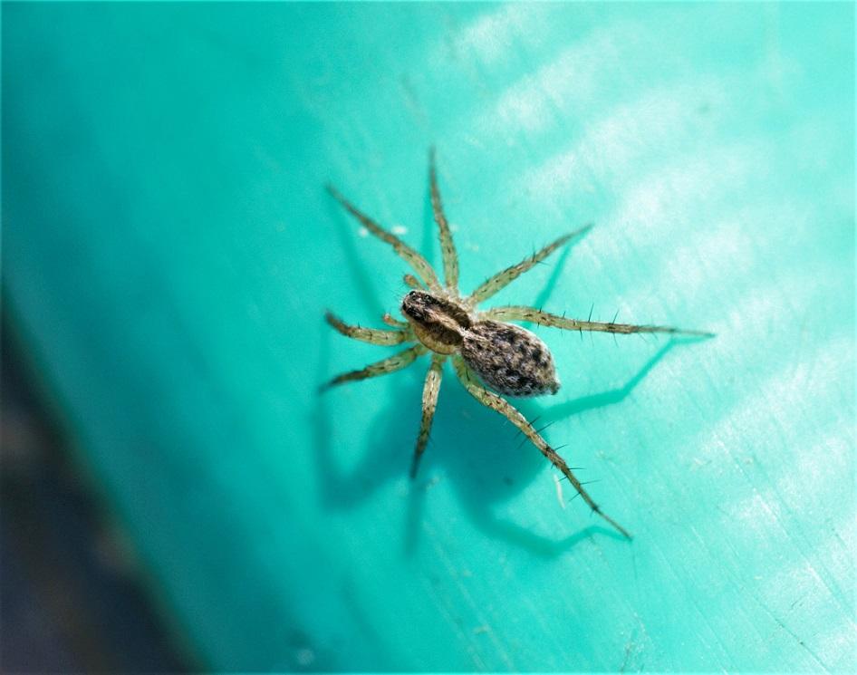 LYCOSIDAE Pardosa proxima 1.jpg