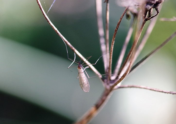 TRICHOCERIDAE Trichocera hiemalis 1.JPG