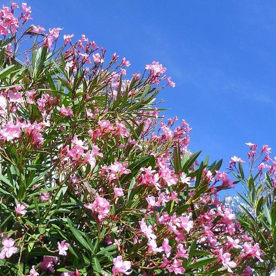 nerium_oleander_virginie_-_laurier_rose.jpg