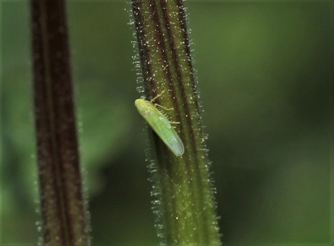 CICADELLIDAE Empoasca vitis (cicadelle verte de la vigne).JPG