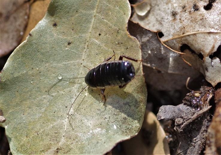 DICTYOPTERA BLATTELLIDAE Loboptera decipiens 1.JPG