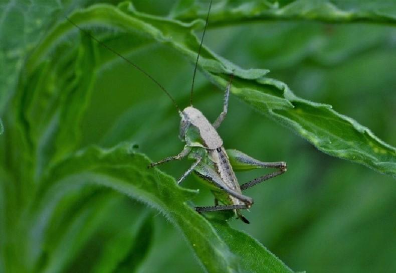 TETTIGONIIDAE Platycleis albopunctata (decticelle larve femelle) (2).JPG