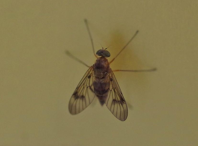 RHAGIONIDAE Rhagio scolopaceus 1 (leptis bécasse).JPG