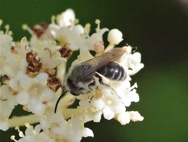 ANDRENIDAE Andrena cineraria 2.JPG