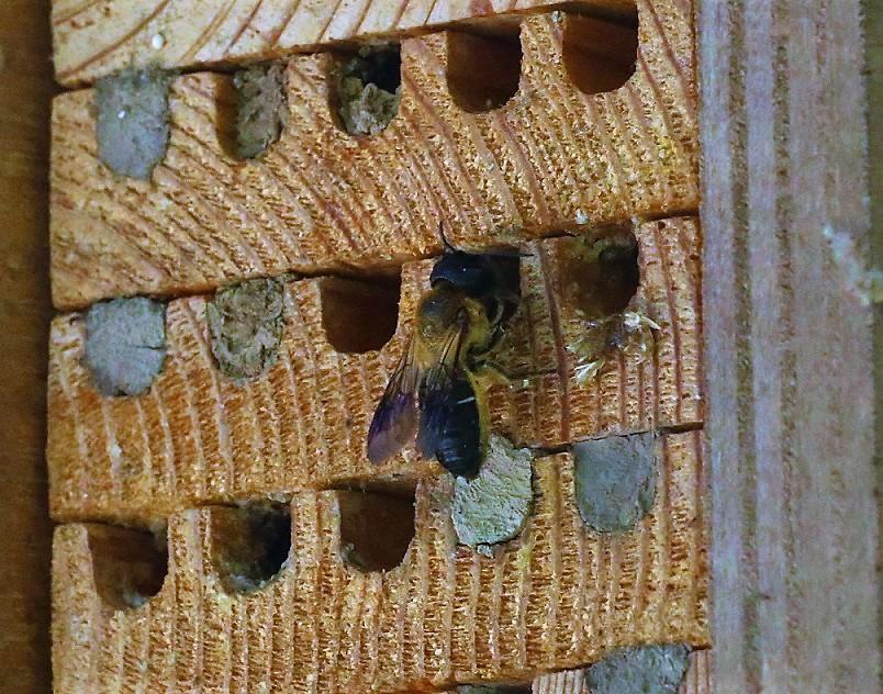 MEGACHILIDAE Megachile sculpturalis 3.JPG