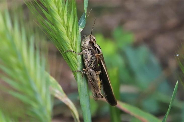 ACRIDIDAE Ramburiella hispanica 1 (criquet des ibères).JPG
