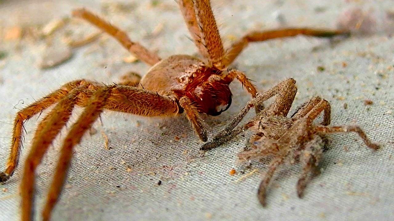 Araignée féministe tuant son homme