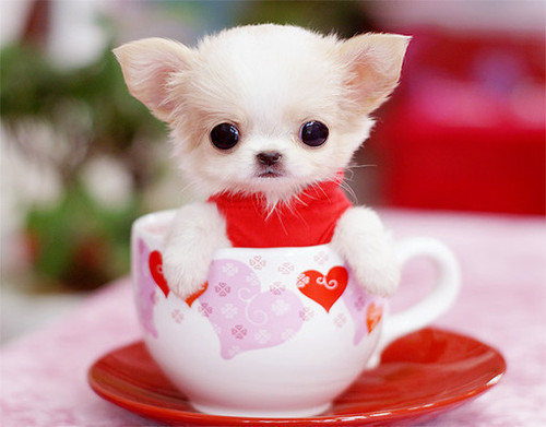 tiny-teacup-chihuahua.jpg
