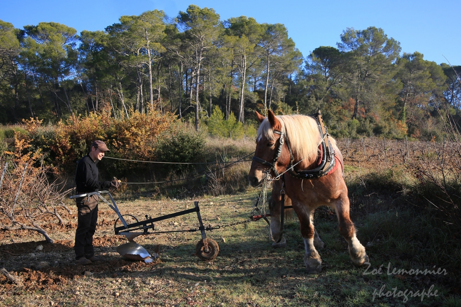 Buttage de la vigne Var avec un cheval. blog .jpg